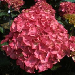 Hydrangea macrophylla Red Angel (H)